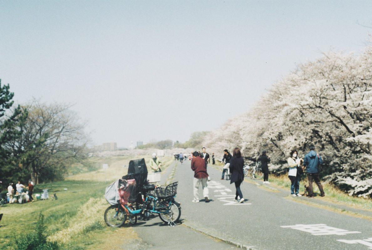 狛江の桜、多摩川